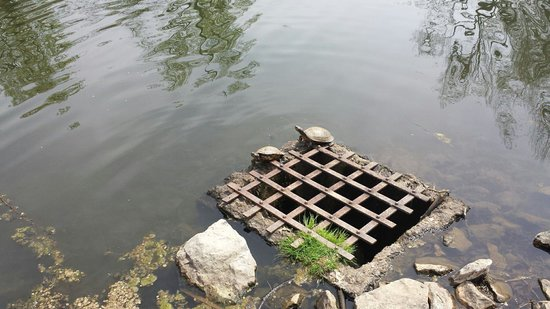 Coonskin Park Golf Course: Turtles enjoying the weather on the lake