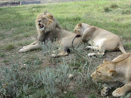 Fairy Glen Private Game Reserve: The close encounter with lions