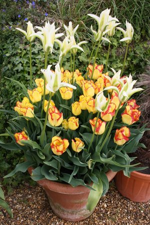 East Ruston Old Vicarage Garden: Paradise for tulip fans