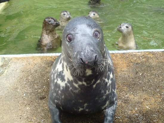 Cornish Seal Sanctuary: We think the is Ray - he's brain damaged and a keeper - how cute is he - he is very friendly