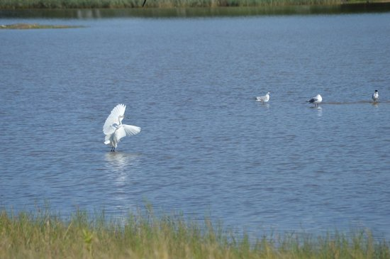 "Themba's Birding and Ecotours: een ""dansende"" little egret"