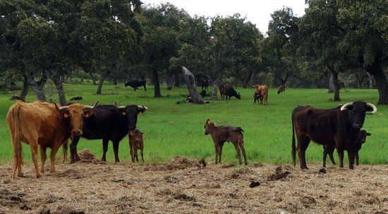 Reservatauro Ronda: Cows and young calves