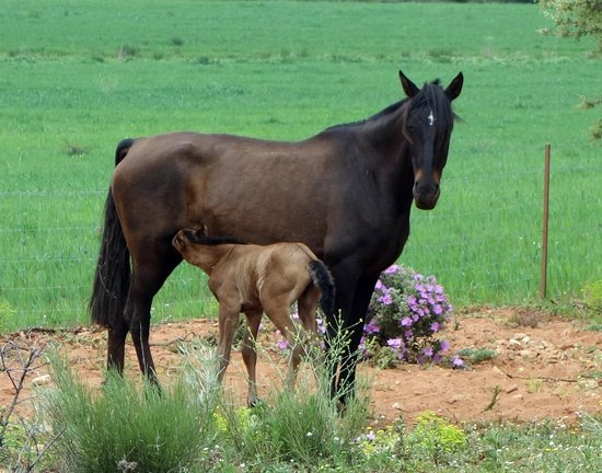 Reservatauro Ronda: Day old foal and mother