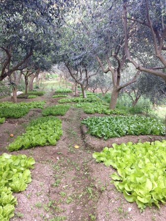 Il Cavaliere dei Conti : Olive trees and salad growing on the terraces of the agritourism