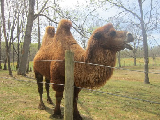 Virginia Safari Park: Camel