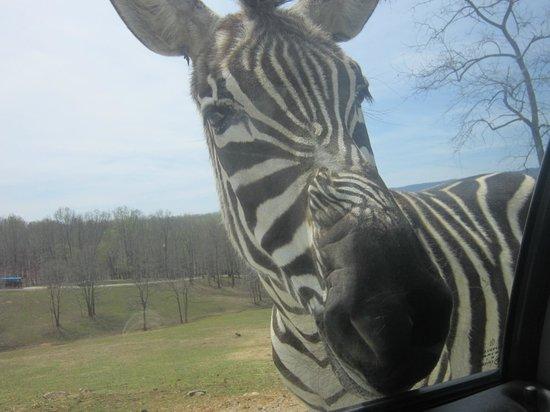 Virginia Safari Park: Zebra looking in the back window