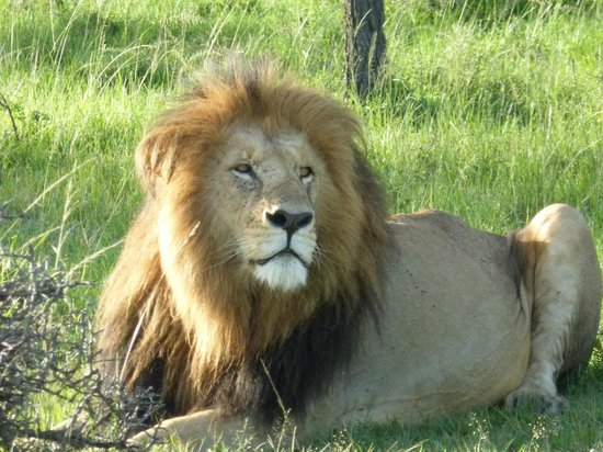 Mahali Mzuri - Sir Richard Branson's Kenyan Safari Camp: Lion!