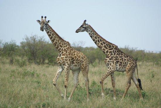 Entumoto Safari Camp: And more giraffe :D
