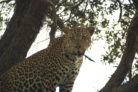 Entumoto Safari Camp: Leopard in the tree