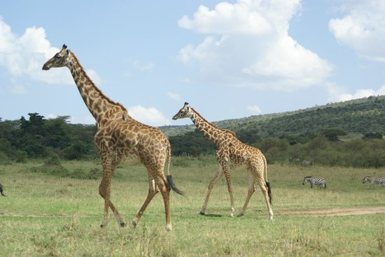 Entumoto Safari Camp: Giraffe...