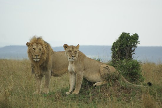 Entumoto Safari Camp: A lion king type of moment.. (a mating pair)