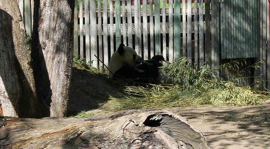 Zoo Aquarium de Madrid : Panda eating