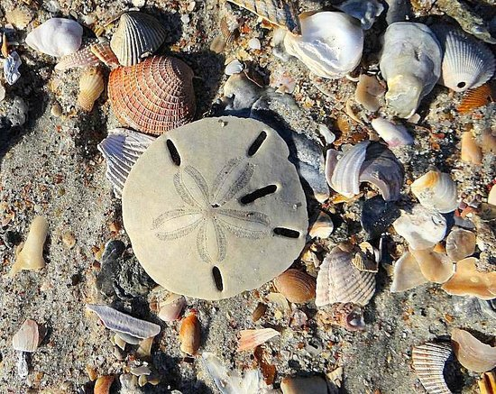 Holden Beach Lots Of Sand Dollars There