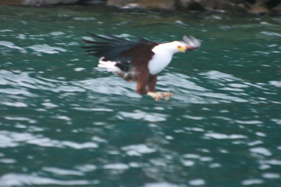 Lake Malawi National Park, Malawi: Fish Eagle on approach to grab fish