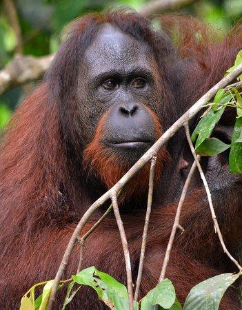 Sepilok Nature Resort: Orangutan at the Centre