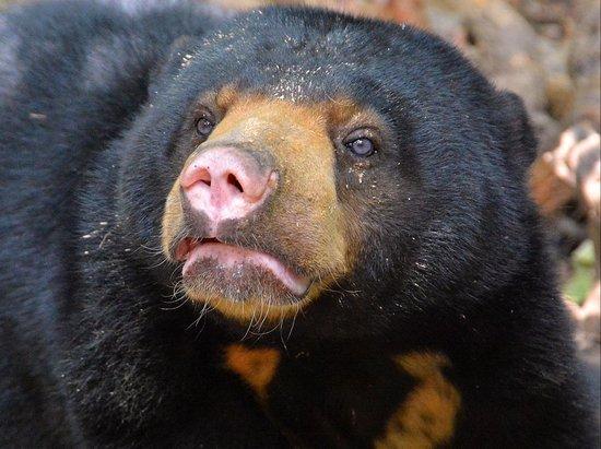 Sepilok Nature Resort: Sun Bear in the new Centre opposite the Orang-utan Centre