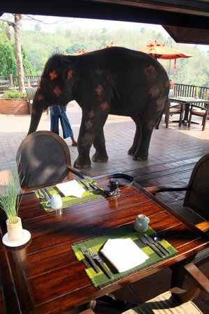 Anantara Golden Triangle Elephant Camp & Resort: Elephants at breakfast
