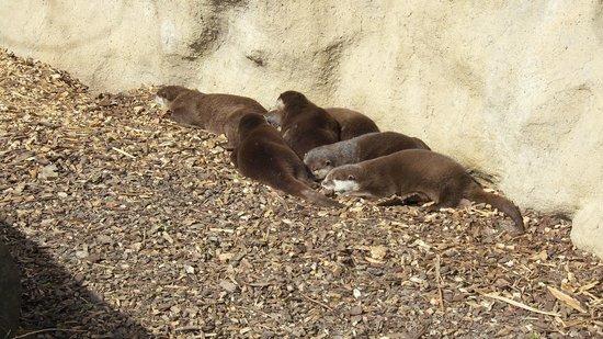 Copenhagen Zoo: Lontre