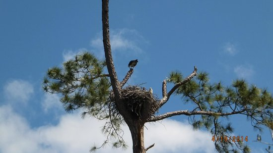 Big Lagoon State Park : osprey and her nest