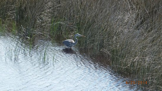 Big Lagoon State Park : blue heron