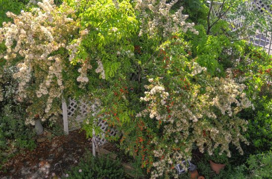 Equinox Inn at Biscuit Hill : Garden entrance in front of house.  Pyrocantha berries and blooming.