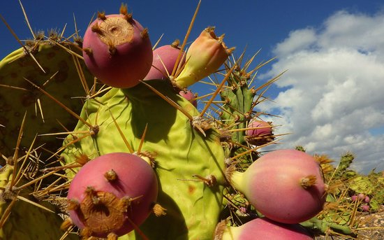 Hesperia Lanzarote : fichi d'india