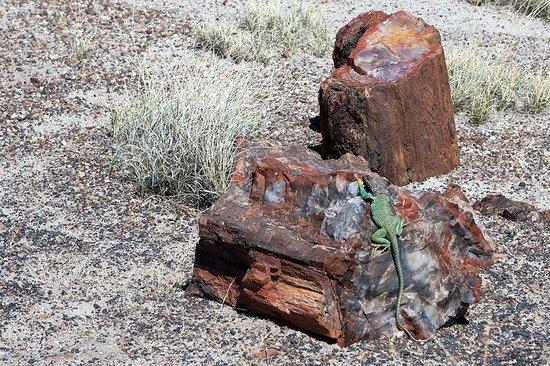 Painted Desert : Lizard on Petrified Tree log