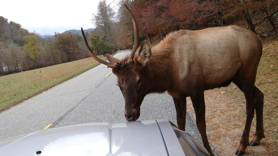 Cataloochee Valley : Elk licking car hood