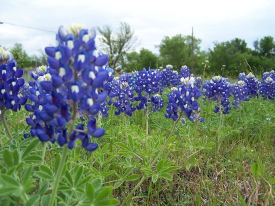 Ennis, TX : Bluebonnets in Ferris, Texas