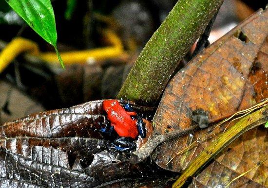 Ecocentro Danaus: Red frog