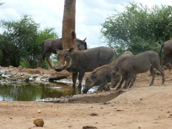 The Bush House : Warthogs from the underground hide