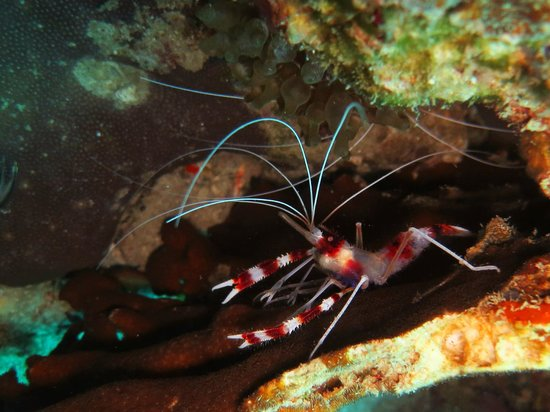 Redang Kalong Resort: Red Coral Banded Shrimp
