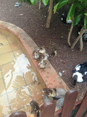 H10 Costa Adeje Palace: Ducks in hotel grounds