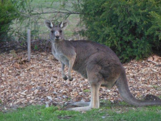 Yering Gorge Cottages: Kangaroos all around!