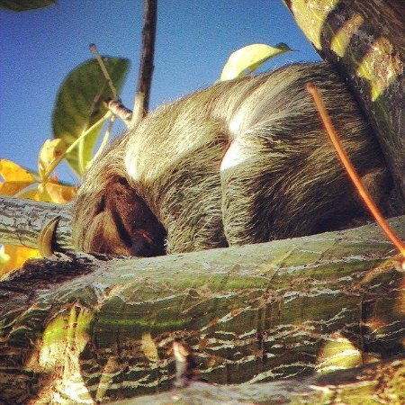 Lapa Rios Ecolodge Osa Peninsula : Sleepy Sloth