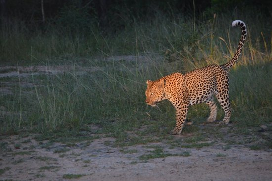 Jackalberry Lodge: Leopard