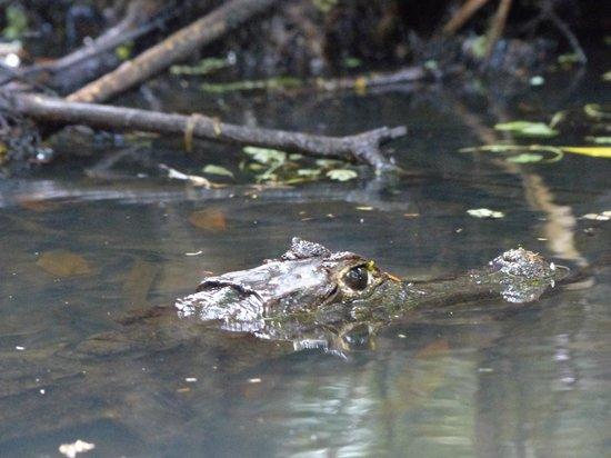 Parque Nacional Tortuguero: Caimán