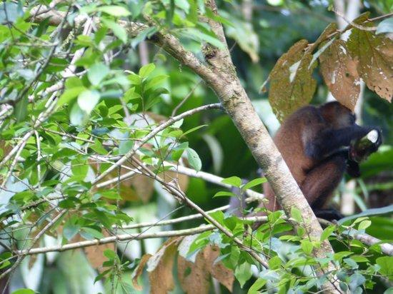 Parque Nacional Tortuguero: Mono araña