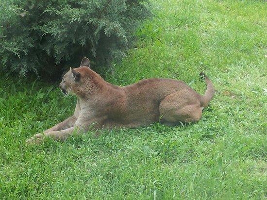 Izmir Wild Life Park: puma