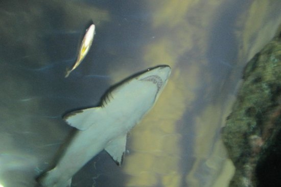 Ripley's Aquarium of the Smokies : Shark