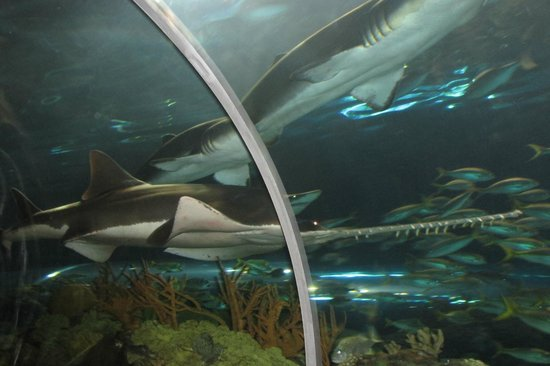 Ripley's Aquarium of the Smokies : Sharks