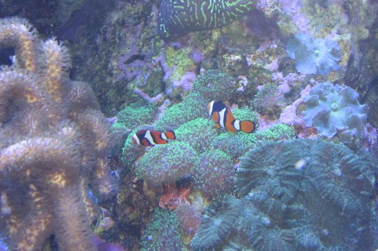 Ripley's Aquarium of the Smokies : Clownfish