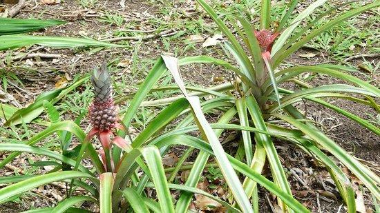 Guest House Kotesi : Des plans d'ananas