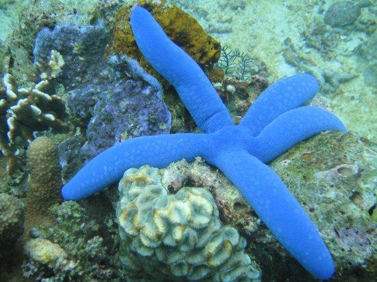 Boracay Island Divers: Синяя морская звезда