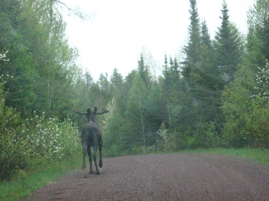 Crooked Lake Resort: Young bull moose