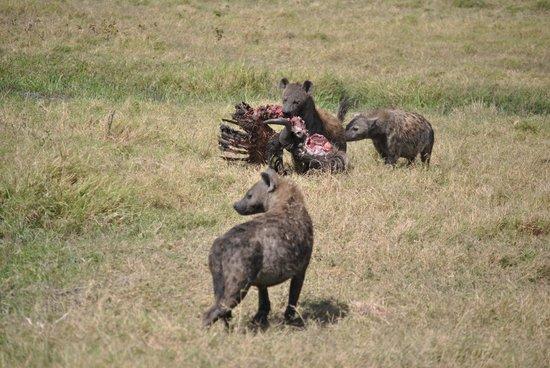 Gamewatchers Adventure Camp, Selenkay : Hyena's Dinnertime