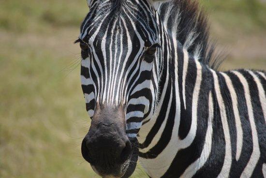 Gamewatchers Adventure Camp, Selenkay : Zebra...
