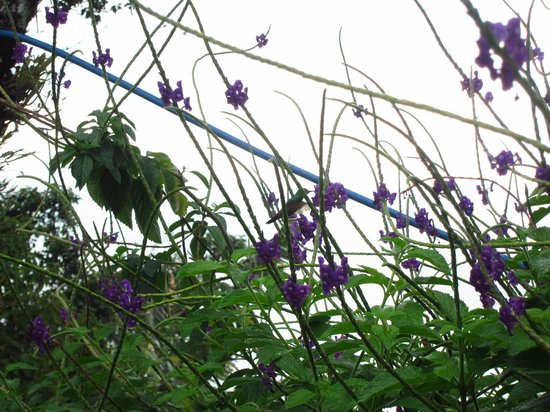 Ceiba Tree Lodge: Kolibri