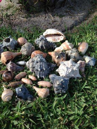Beach Island Resort: Shells collected on Resort's beach