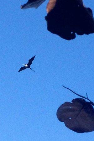 Xtabi Resort: Frigate birds